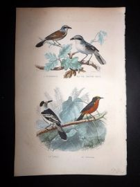 Buffon 1849 Hand Col Bird Print. Great Grey Shrike, Crimson-breasted Shrike
